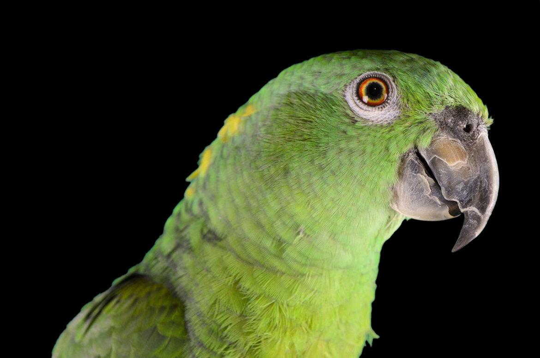 Papagei-kaufen